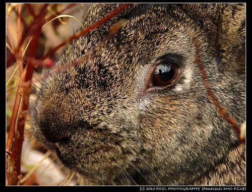 Park Bunny (family Leporidae)
