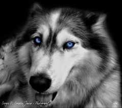Can't take my Eyes off You... [see large] (Husky Photography) Tags: bw dog white black cute husky cachorro siberian fofo pretoebranco siberiano thewowgallery