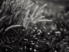.surround uS (27147) Tags: grass flower garden lawn casalunar village bokeh 27147 chonburi thailand thai olympus pen ep2 voigtlander 50mm f11