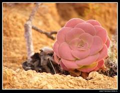 Verode (Fran Dorta) Tags: naturaleza flower macro nature flor fujifilm salvaje s5800 berode