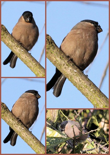 Female Bullfinch