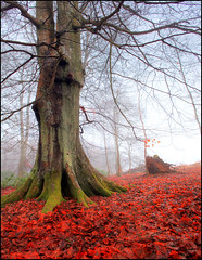 On the Red Carpet (angus clyne) Tags: wood autumn trees winter red sky orange mist tree green fall beautiful leaves rain fog composition forest carpet gold one golden scotland leaf moss big nice stem branch streak forestry decay secret branches low small perthshire dream foggy deep fork knot crack filter bark lee stump only trunk lone strong mystical buds lichen tall streaked rebirth magical twigs mossy smelly thick hdr cracked extraordinary beech oscars decaying mulch damp cleft deeper wooded verygreen leefilters colorphotoaward