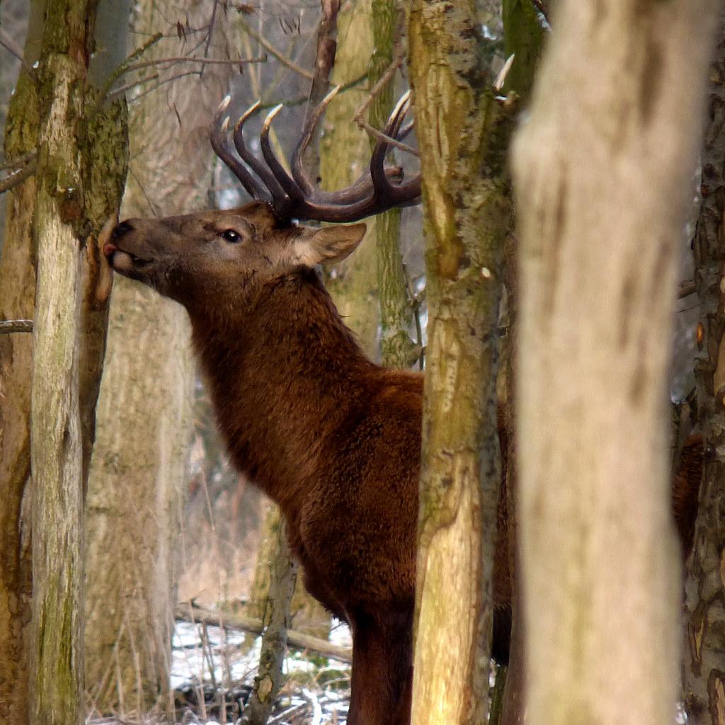 Red Deer eats fibres during harsh winter