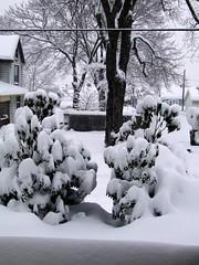 (Shane Henderson) Tags: trees winter plants white snow covered blizzard newkensington
