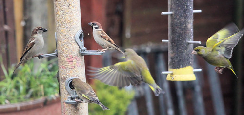 Greenfinches Arrive