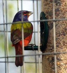 Male Painted Bunting at Feeder