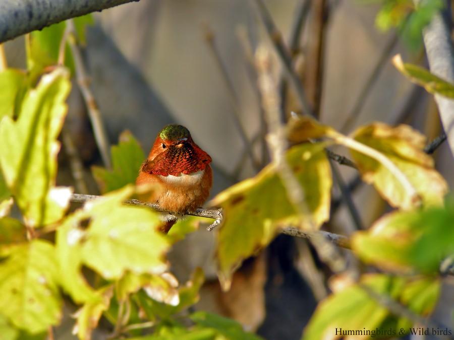 Allen's Hummingbird 02101