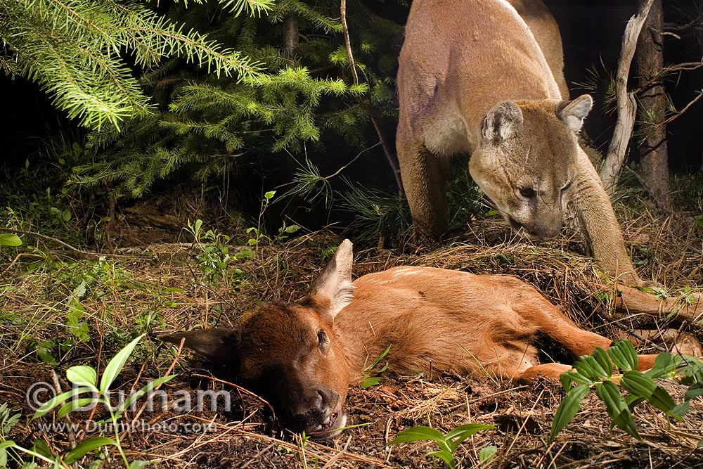 Cougars Near Me >> Michael Durham Photography - www.DurmPhoto.com: Elk Predator