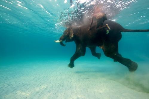 Swimming Elephant - Andaman Islands, India