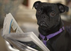 Dog Reads Newspaper? (seng1011) Tags: dog animal reading newspaper nikon pug usatoday pugdog 50mmf18afd dogreadingnewspaper d700 usatodaynewspaper nikond700 molliethedog