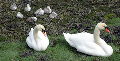 Nairn Harbour swans and cygnets (Jim the Noo) Tags: swan cygnets nairn