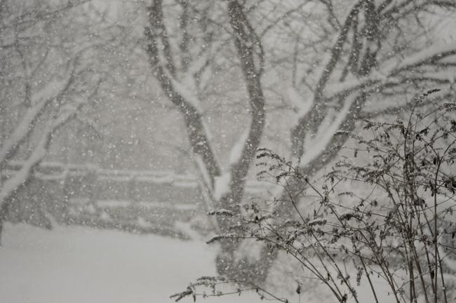körsbärsträden i snöstorm