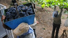 La cosecha de uva será 15% mayor a la del año pasado