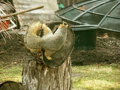 Squirrel Play (boisebluebird) Tags: boise boisebluebirdcom httpwwwboisebluebirdcom boiselandscaping boisegardener