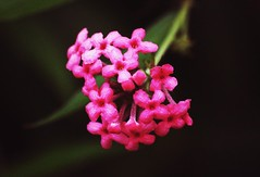 (natsooolong) Tags: pink trees plants flower macro nature leaves garden botanical sigma apo 300 70 dg