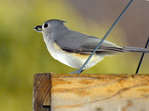 perfect titmouse 2