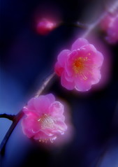 Plum Flowers (h orihashi) Tags: flower macro beautiful japan niceshot pentax plum harmony 日本 softfocus 花 soe breathtaking nationalgeographic musictomyeyes aphoto aclass 広島 k7 naturesfinest coth supershot flickrsbest bej ソフト royalgroup diamondheart platinumphoto impressedbeauty flickrhearts crystalaward flickrbronzeaward citrit excellentphotographerawards heartawards theunforgettablepictures diamondstars colourartaward justpentax goldstaraward flickrestrellas cherryontopphotography peaceawards rubyphotographer damniwishidtakenthat pentaxart pentaxk7 dream20092010
