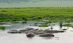 Hippo pool at Ngorongoro crater (Z Eduardo...) Tags: nature water animal reflections landscape tanzania nationalpark pond wildlife safari ngorongoro crater hippo hipopotamo hippotamus superaplus aplusphoto