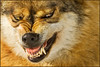 The underdog (hvhe1) Tags: winter snow animal germany mammal bayern nationalpark bravo wolf searchthebest sneeuw interestingness1 duitsland naturpark bayerischerwald bavarianforest beieren zoogdieren specanimal hvhe1 hennievanheerden