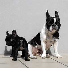 . (susilalala) Tags: frenchbulldog conchita nuka bulldogfrances