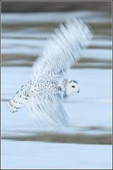 Owl (Snowy) - 1852 (ISO Test) (Earl Reinink) Tags: flight raptor snowyowl snowyowlinflight earlreinink wwwearlreininkcom wwwipaintca
