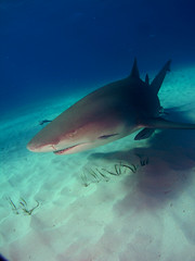 LEMON SHARK (adri b brandao) Tags: underwater sony bahamas lemonshark jasa sharkdiving