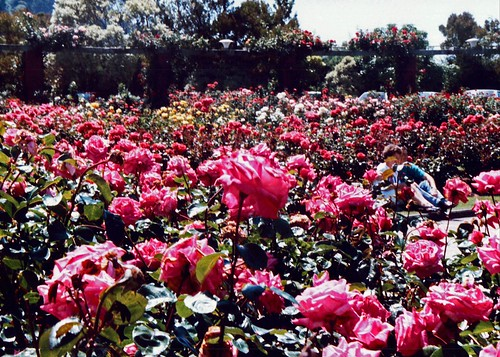 Lady Norwood Rose Gardens 1991 Wellington New Zealand