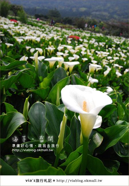 【2010竹子湖海芋季】陽明山竹子湖海芋季~海芋盛開囉!5
