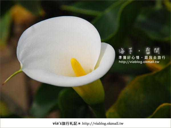 【2010竹子湖海芋季】陽明山竹子湖海芋季~海芋盛開囉!23