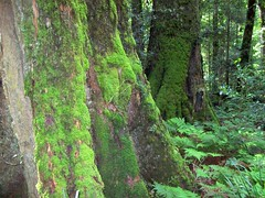 Antarctic Beech (Nothofagus moorei) (Poytr) Tags: moss nsw dungog nothofagus nothofagaceae barringtontopsnationalpark nothofagusmoorei cooltemperaterainforest australianrainforestplants australianrainforesttrees nswrfp qrfp burragaswamp cooltemperatearf
