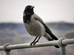Alert crow