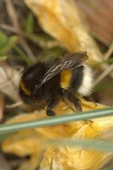 Bombus terrestris | Aardhommel - Buff-tailed bumblebee