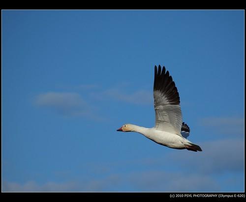 Snow Goose (Chen caerulescens)