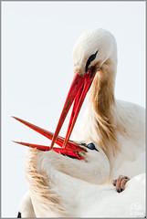 Couple of Ciconia ciconia (Alessandro Laporta Photographer) Tags: ciconiaciconia whitestork cicognabianca cicognaeuropea störche weisstorch cigogneblanche aoasiaiquadris quadris friuli friuliveneziagiulia fvg alessandrolaporta fotocesco fagagna oasi progettocicognabianca stork oasideiquadris