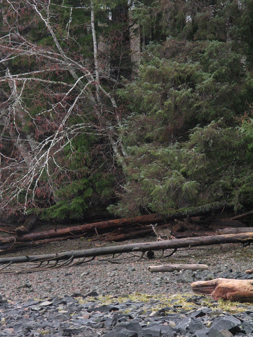 a deer on the beach near the trees, Kasaan, Alaska