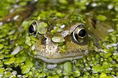 Frog (YOYO182) Tags: uk wildlife frog camouflage ukwildlife