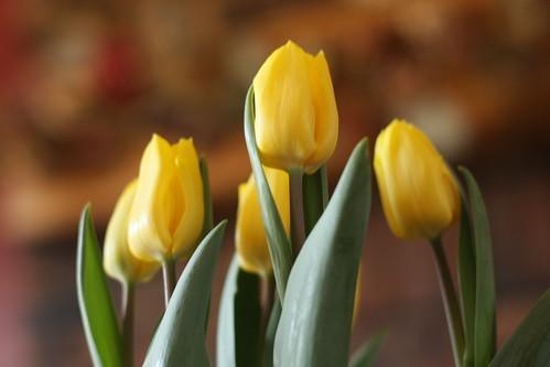 tulips 025