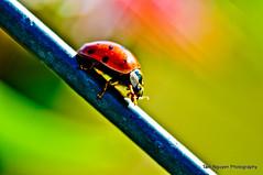 Lady going down down down... ([ Tam Nguyen Photography ]) Tags: macro closeup fence bug interesting nikon dof sigma depthoffield explore ladybug buglady sacramento ladybugs f28 elkgrove bugeating redbug thebug redant bughouse 105mm yellowbug bugbite beetlebug greenbug brownbug blackbug stinkbugs d90 bugsred redwasp flyingbug tinybug bugwings northcalifornia redspider redbugs butterflybug bokehlicious redinsects tamnguyen insectbug bodybug nikond90 flybug bughabitat spiderbug searchbug ladybugred bugred beebug beetlesbugs bugidentification bokehphotography bokeholic ladybugbug azn137 buginsects flyingred bugwith pestbug buginfestation buybug fliesbug buglifecycle typesofbugs bugfinder bugidentify scorpionbug wwwtambnguyencom tambnguyencom