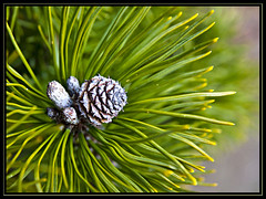 Cone (KTDEE....) Tags: uk macro tree closeup lens cone leicester sigma gardencentre 1770mm ktdee