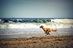 Doggie Gallops! (Mary Vican) Tags: dog pet playing cute beach water happy jumping mixed sand waves action sweet towers joy shoreline newengland yay running historic shore foam breed gallop narragansett dogatthebeach