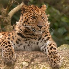 Amoer panter (Sander van der Wel) Tags: zoo rotterdam blijdorp panther dierentuin amurpanther