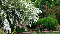 Spirea wore her beautiful new Easter dress yesterday... (Majlee) Tags: roses daisies japonica mybackyard springtime spirea poppiesoutofcontr