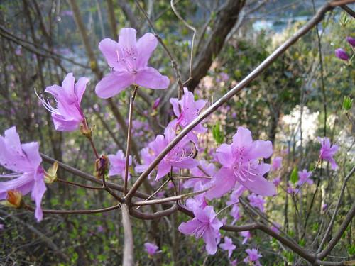大竹 亀居公園 桜 画像 6