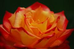 rose (muntingbayan) Tags: orange flower up rose yellow closeup petals close