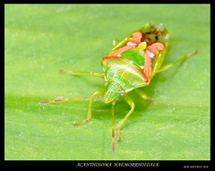 ACANTHOSOMA HAEMORRHOIDALE (bobspicturebox) Tags: macro river colours tulip frogs beetles roedeer snailshell slowworm acantthosoma dunnocksong