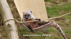Relaxing Coati (twinsearcher) Tags: zoo awesome lawn wiese stall rope kfig tier hngematte coati nasuanasua strick seil nasenbr putzig gehege astloch reizend ringelschwanz schnffeldorf dinshappen