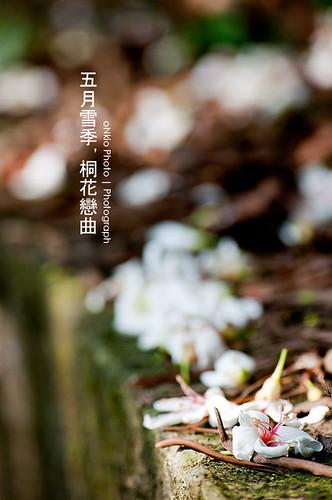 2010 桐花季.台北新店