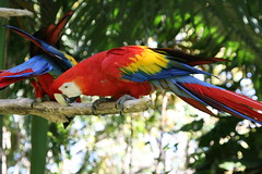 "02 09_ CR_ Zoo Ave_ Red and Gold Macaw • <a style=""font-size:0.8em;"" href=""http://www.flickr.com/photos/30765416@N06/4520244847/"" target=""_blank"">View on Flickr</a>"