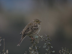Corn Bunting : 5346 (mausboam) Tags: spain flickr extremadura caceresprovince 20100212