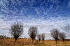 Twiske Willows 02 (Peter Bongers) Tags: trees sky holland tree grass clouds nl waterland wilg wilgen terdata twiske peterbongers nikonflickraward nikonflickrawardgold